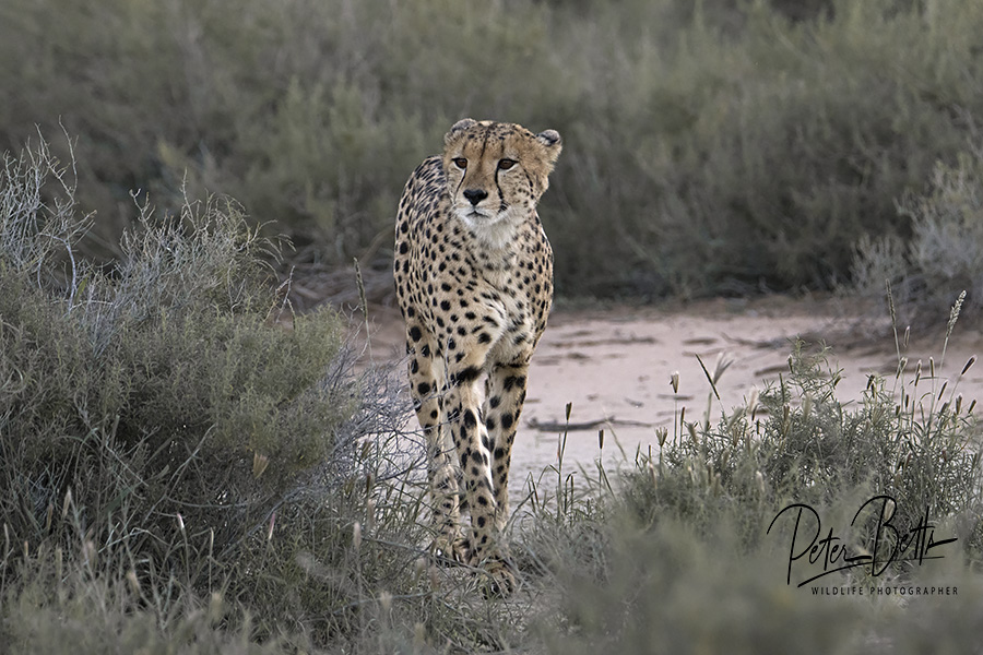 Male Cheetah Approach.jpg