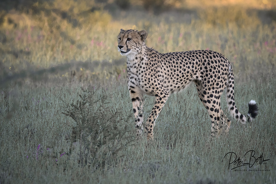 Concentrating Male Cheetah.jpg