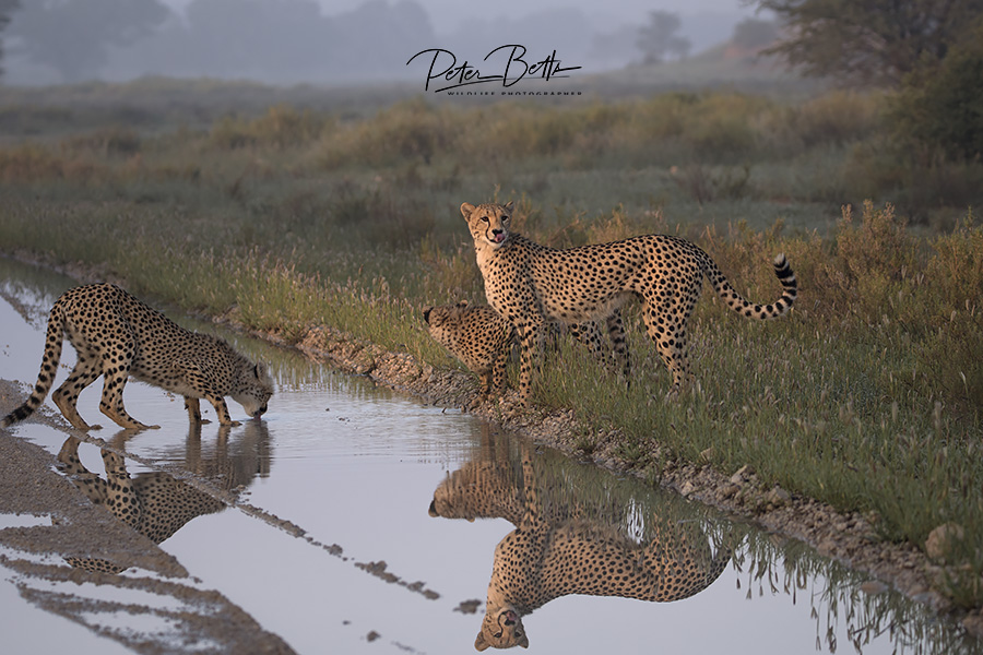 Family Cheetah Drinking.jpg